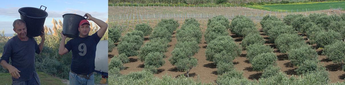 olio extra vergine Olio Alma från egen olivlund vid Casa Alma, Sicilien