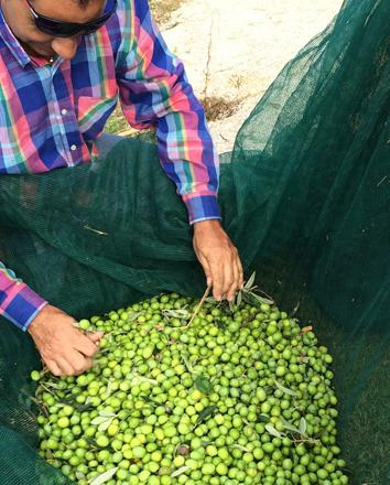 Sortering av nyskördade oliver för produktio av olio extra vergine Olio Alma från egen olivlund vid Casa Alma, Sicilien