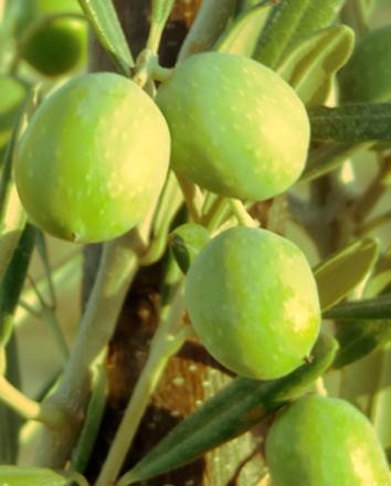 oliver för produktion av Olio Alma olivolja