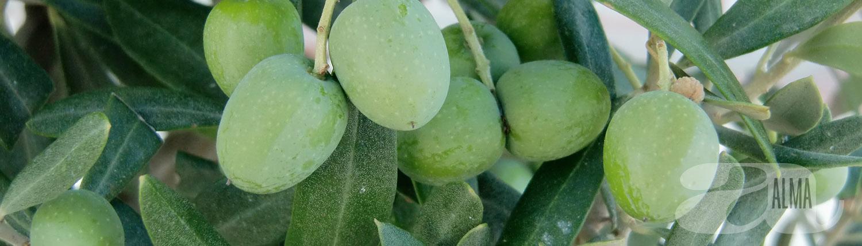 egenproducerad exklusiv olivolja Olio Alma